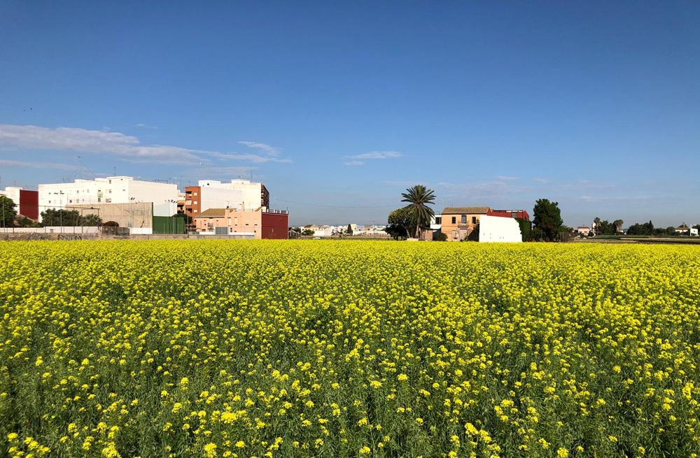 cultivo ecológico chufa